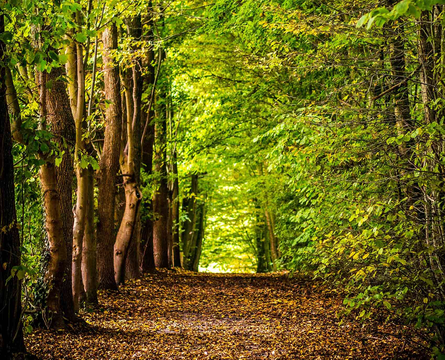 woods pathway with green leaves and trees